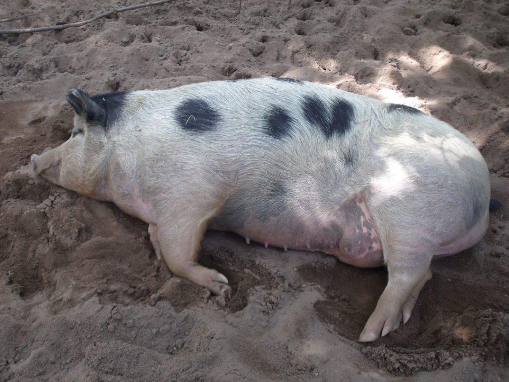 Tiergarten Nürnberg - Familienausflug - Hausschwein
