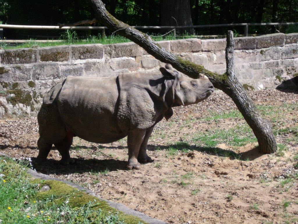 Tiergarten Nürnberg - Familienausflug - Nashorn