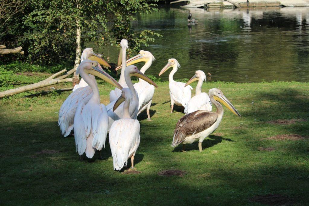 Tiergarten Nürnberg - Familienausflug - Pelikane